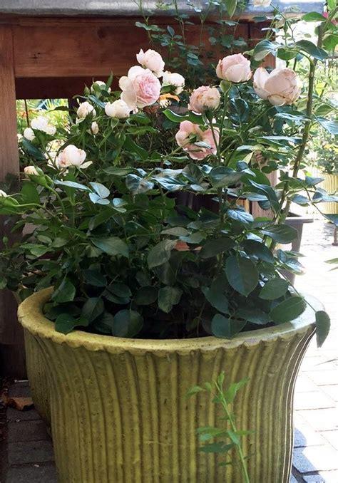 Rosen Pflanzen Im Topf