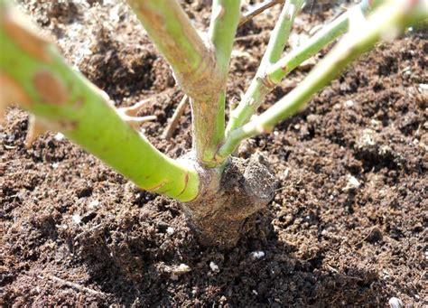 Rosen Pflanzen Veredelungsstelle