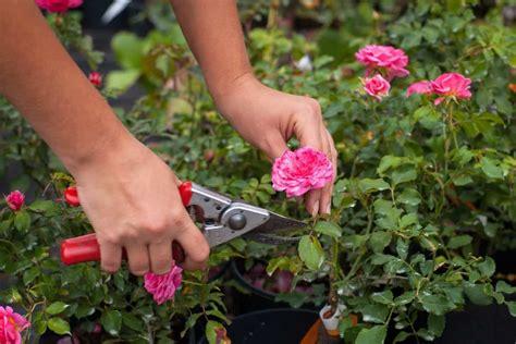 Rosenbusch Schneiden