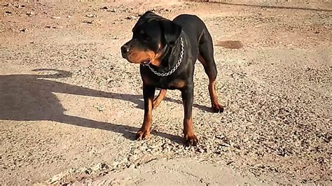 Rottweiler Dog Fighting And Training Videos