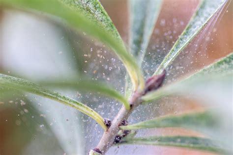 Schädlinge Zimmerpflanzen Klebrige Blätter