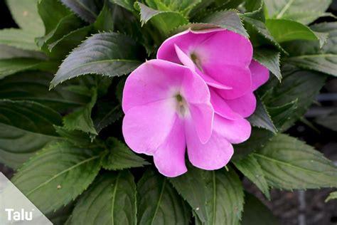Schattige Balkonpflanzen