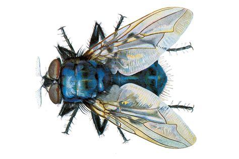 Schmeißfliegen Bekämpfen