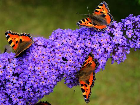 Schmetterlingsflieder Blütezeit