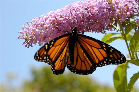 Schmetterlingsflieder Giftig