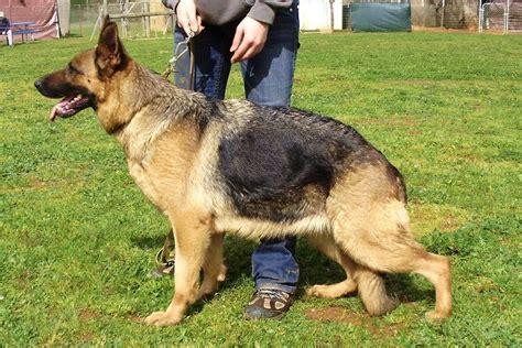 Schutzhund Dog Training Near Me
