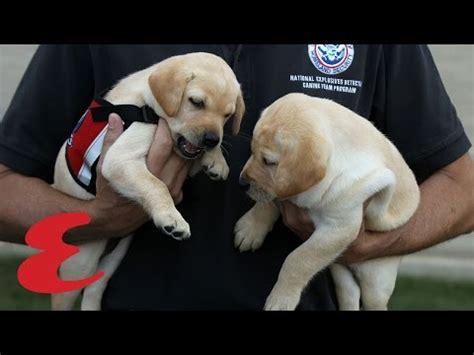 Service Dog Training Dropouts Adoption
