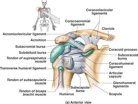 shoulder anatomy bones ligaments youtube