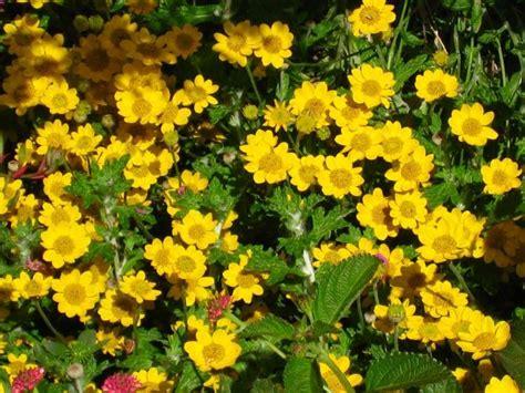 Stauden Pflanzen Gelbe Blüten