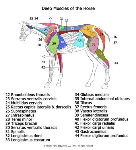 strengthen hip flexors and abductors muscles in horses