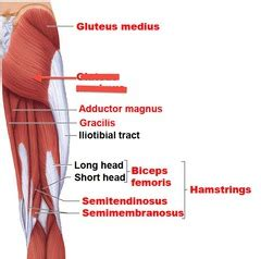 strong hip flexor deep in pelvis a composite of two muscles in the bicep