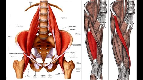 symptoms of hip flexor tendonitis stretches for shin muscles anatomy