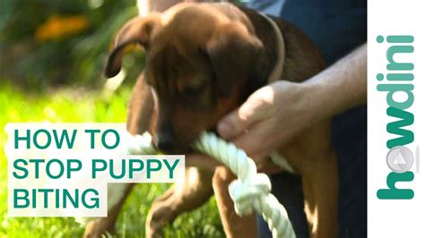 teaching a puppy to not bite