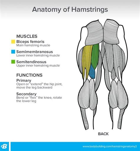 the hamstring muscles function as a decelerator