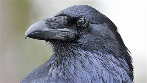 Read Books The Raven Online