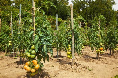Tomaten Pflanzabstand