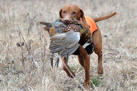 Train Dog Bird Hunt