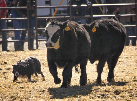 Training Cow Dogs