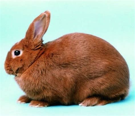 types of pet rabbits bunny