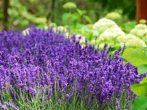 Wann Lavendel Pflanzen