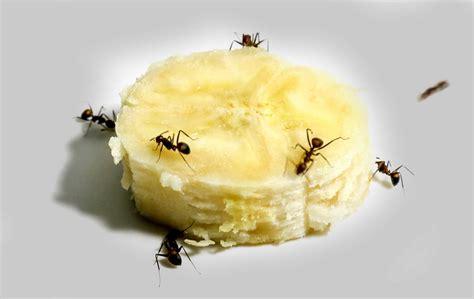 Was Essen Ameisen