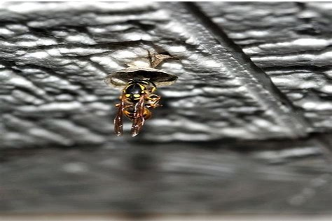 Wespenkönigin Töten