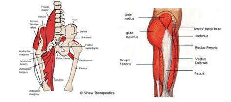 what are hip flexors and abductors muscles diagram