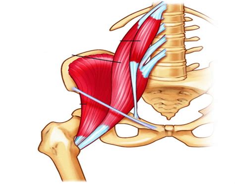 what are the primary hip flexors