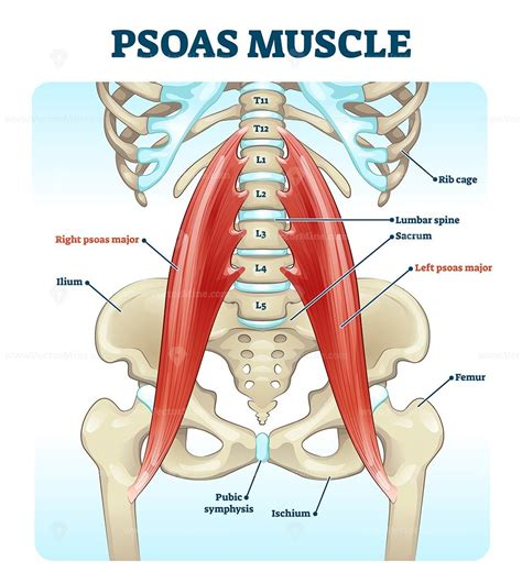 what causes tight hip extensors anatomy of the human skull