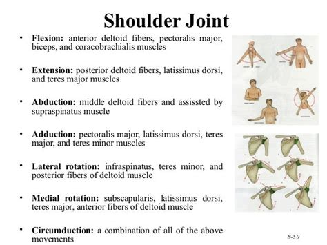 what muscles engage in shoulder flexion muscles and nerves