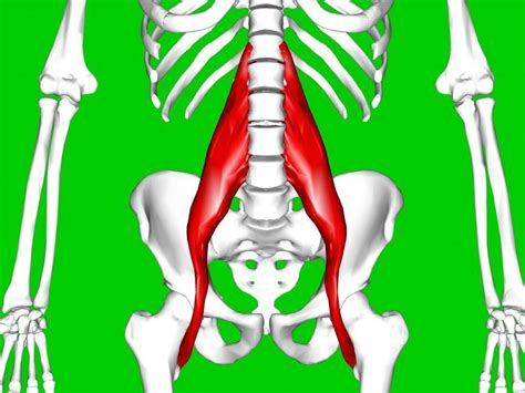 where are my hip flexors located in or located within