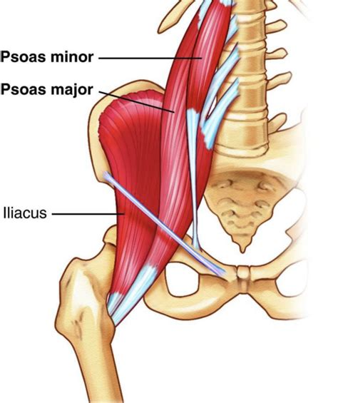 where are the hip flexors located in or located within the body