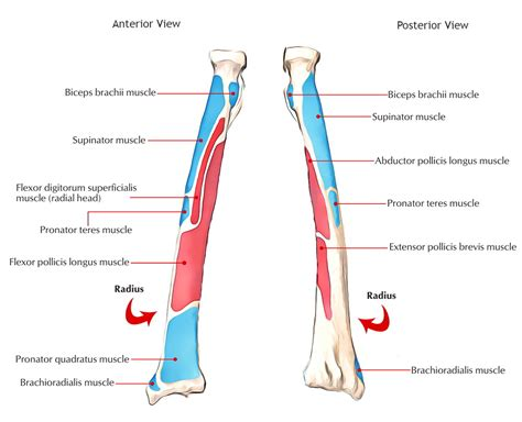 where is hip flexor and extensor muscles 8th army blue