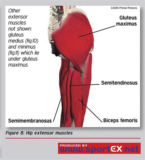 where is hip flexor and extensor muscles explanation meaning