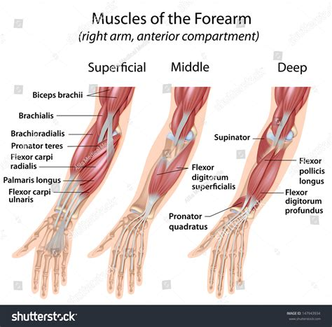 where is hip flexor and extensor muscles of forearm anatomy