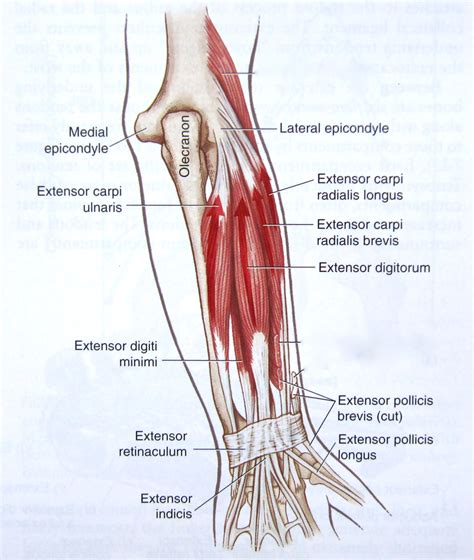 where is hip flexor and extensor muscles of forearm anatomy muscles