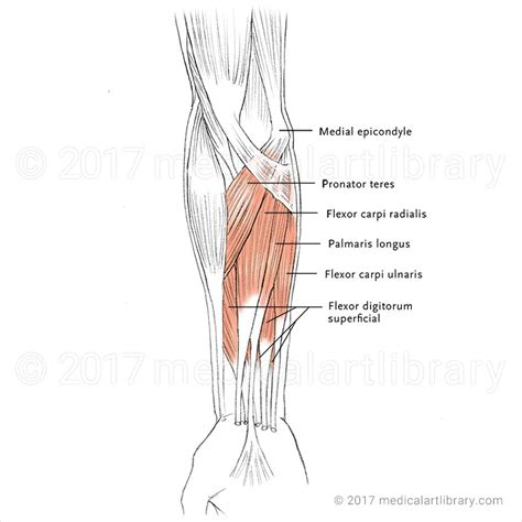 where is hip flexor and extensor muscles of the forearm quiz games