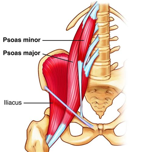 where is psoa and hip flexor muscles