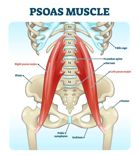 where is psoa and hip flexor muscles iliopsoas muscle