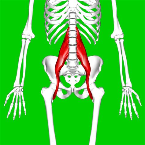 where is psoa and hip flexor muscles palpation