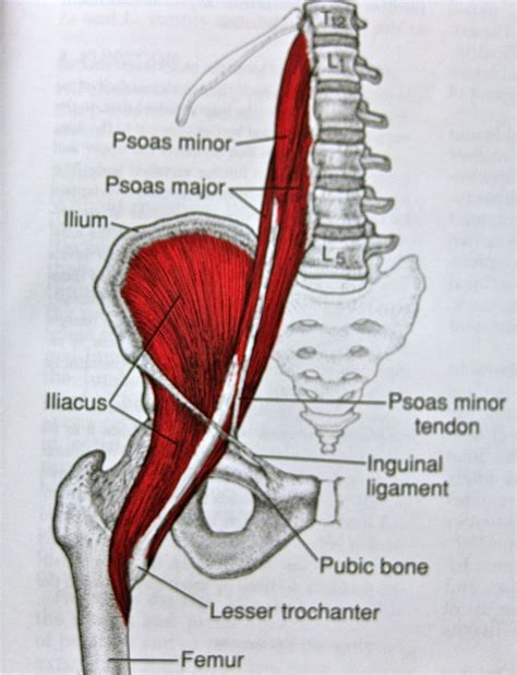 where is the hip flexor muscles iliopsoas pain with lumbar