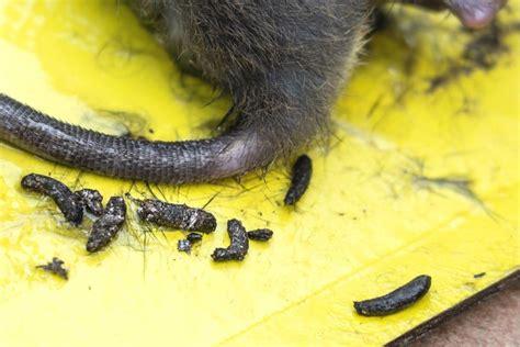 Wie Sieht Rattenkot Aus