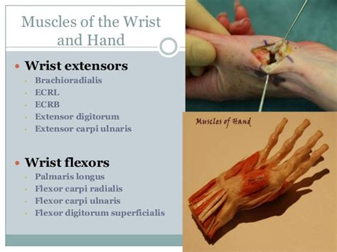 wrist flexion extension muscles