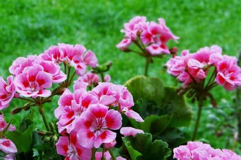 Zierpflanze Geranie