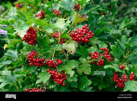 Zierpflanze Mit Roten Beeren