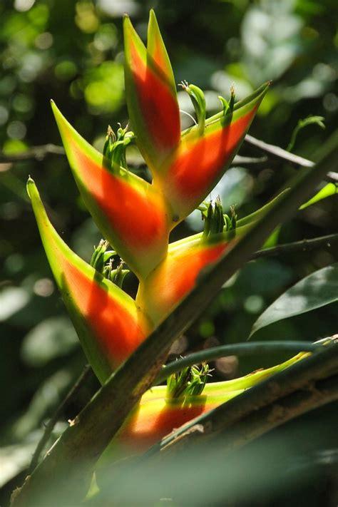 Zierpflanze Tropenpflanze