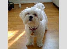 List of Best Lap Dog Breeds   101DogBreeds.com