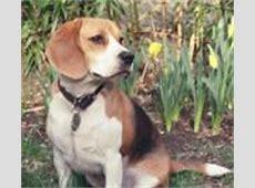 Honden   hond, puppy, hondenrassen, fokkers, puppies, honden
