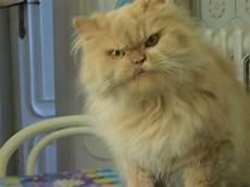 gattina persiana regalo gattina persiana petpassion