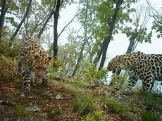 jaguar where do they live amur leopard species wwf
